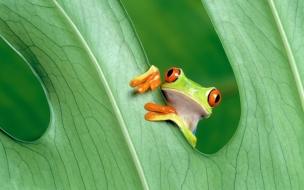 Una rana verde