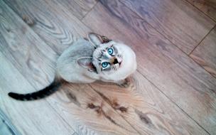 Gato de ojos turquesa