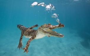 Un cocodrilo buceando