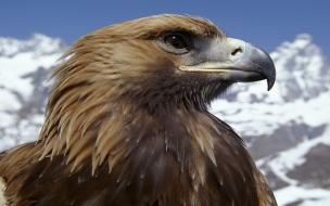 Aguila marron