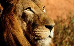 La cara del león
