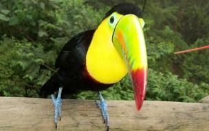 Colorido Tucán