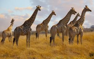 Jirafas de Africa