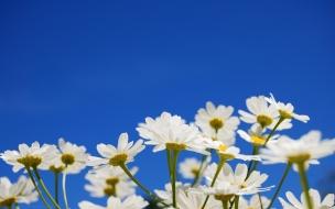 Flores blancas margaritas