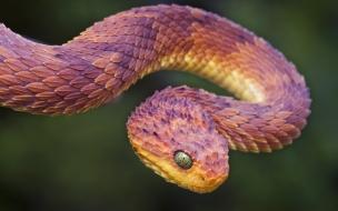 Serpiente rosada morada