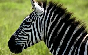 Zebra o Cebra?