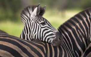 Cebras africanas