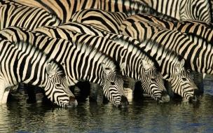 Cebras tomando agua