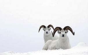 Carneros en la nieve