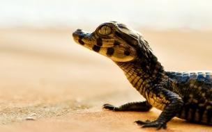 Un pequeño caimán