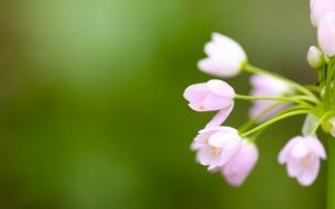 Flores tulipanes rosadas