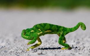 Un camaleón corriendo