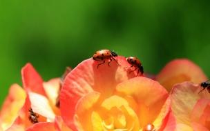Unas mariquitas en las flores