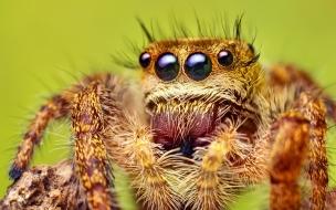 Una araña con varios ojos