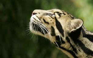 La cabeza de un Leopardo