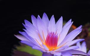 Flor purpura macro