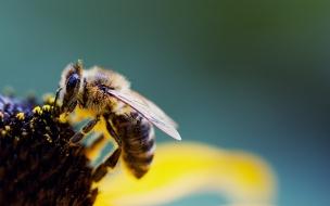 Una abeja gigante