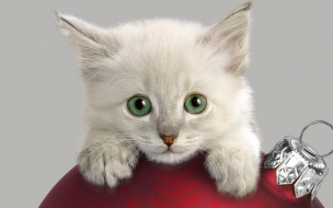 Hermoso gato blanco