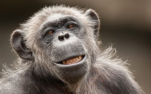 La cara de un chimpancé