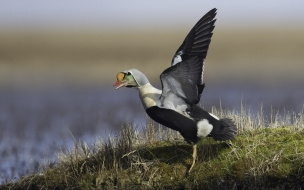 Eider real macho