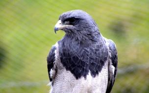 Aguila Gris