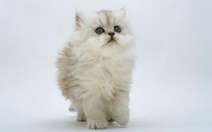 Gato blanco hermoso