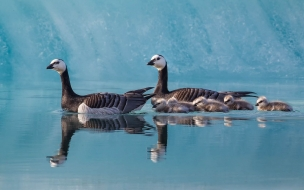 Familia de patos nadando