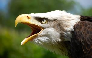 Aguila abriendo la boca