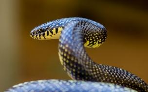 Serpiente Coral negra