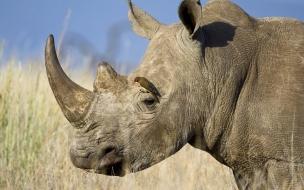 Un rinoceronte con dos cuernos