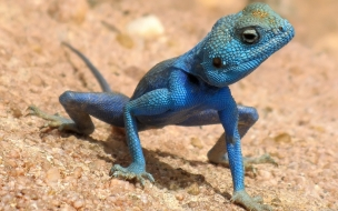Una iguana azul