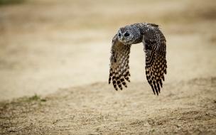 Un Búho en vuelo