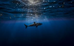 Tiburón en el océano