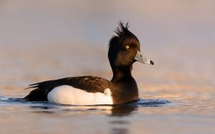 Un pato negro en el lago