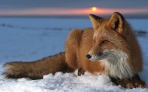 Zorro Rojo en la nieve