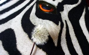 Los ojos de una cebra