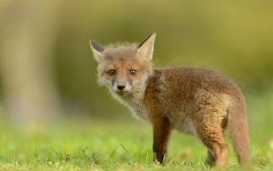 Una pequeña cria de zorro