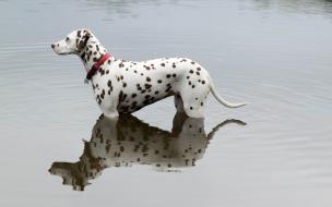 Perro dálmata en el agua
