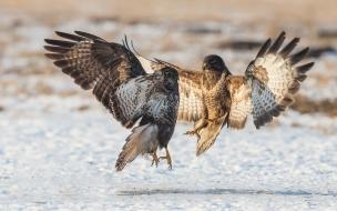 Pelea de aves