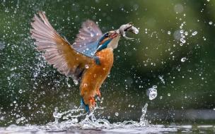 Pajaro cazando peces