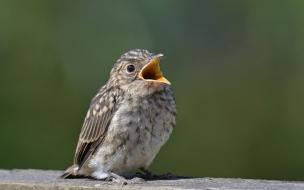 Pichon abriendo la boca
