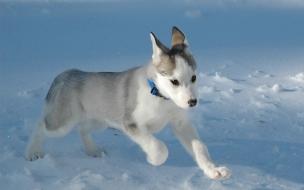 Pequeño perro lobo blanco
