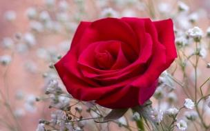 Una hermosa flor roja