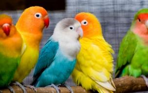 Pericos multicolor