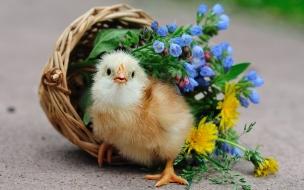 Lindo pollito amarillo