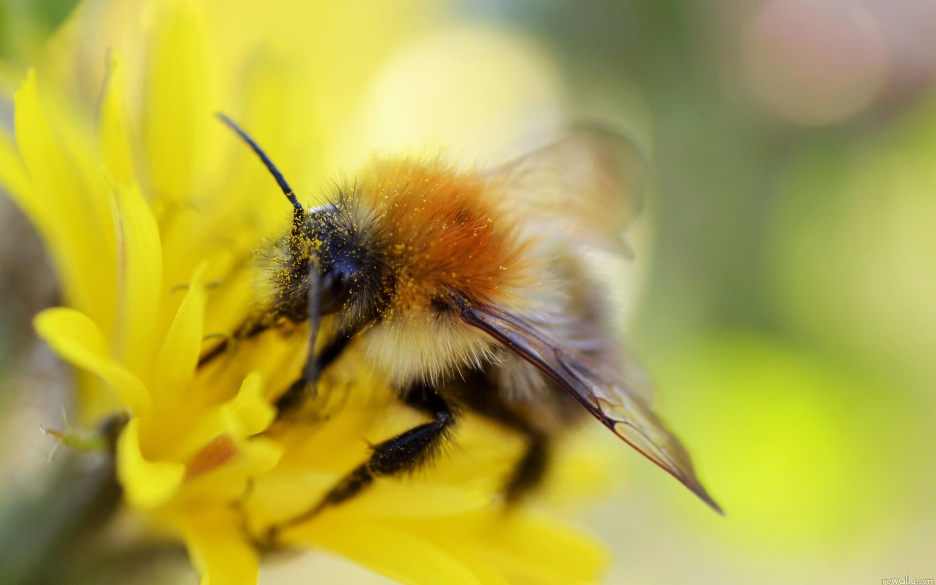 Abeja recolectando polen - 1920x1200
