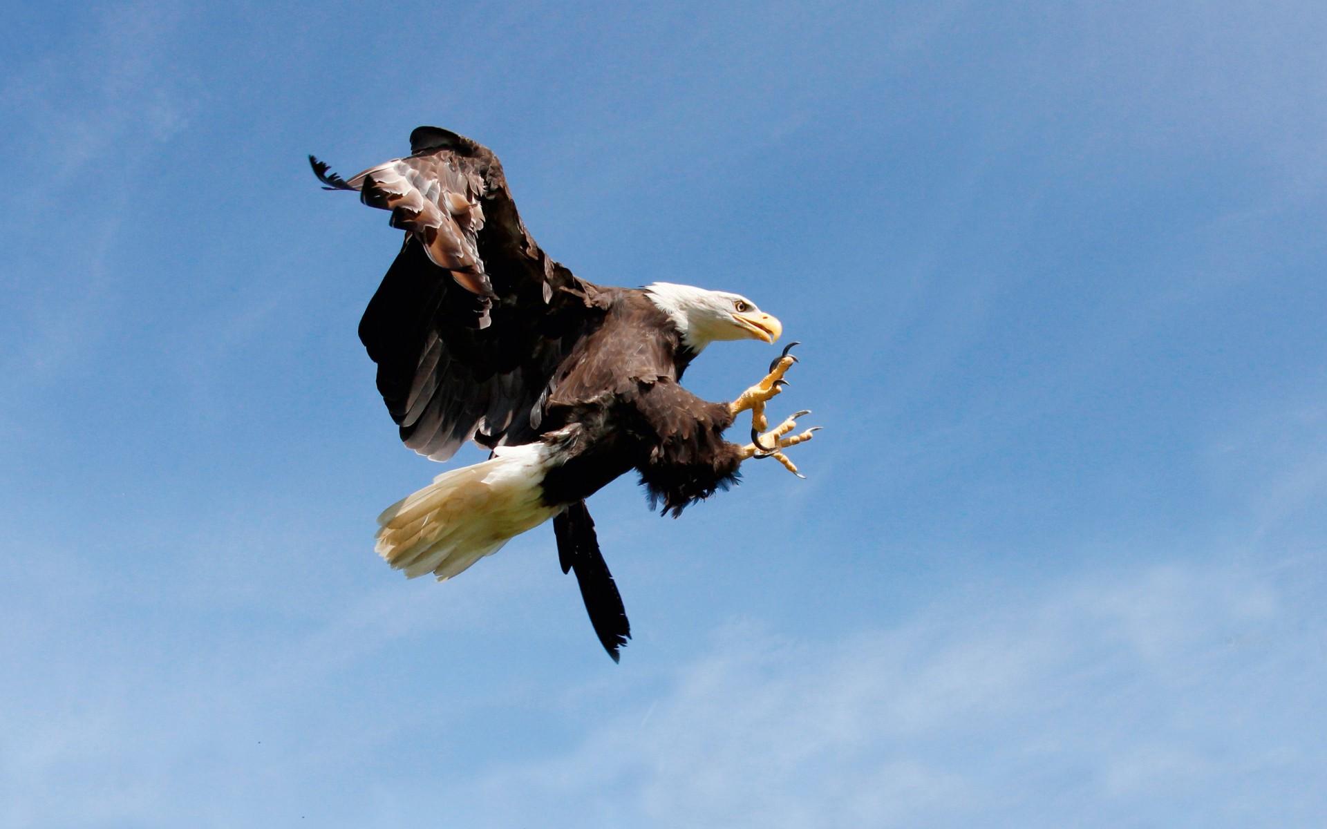 Aguila cabeza blanca atacando - 1920x1200