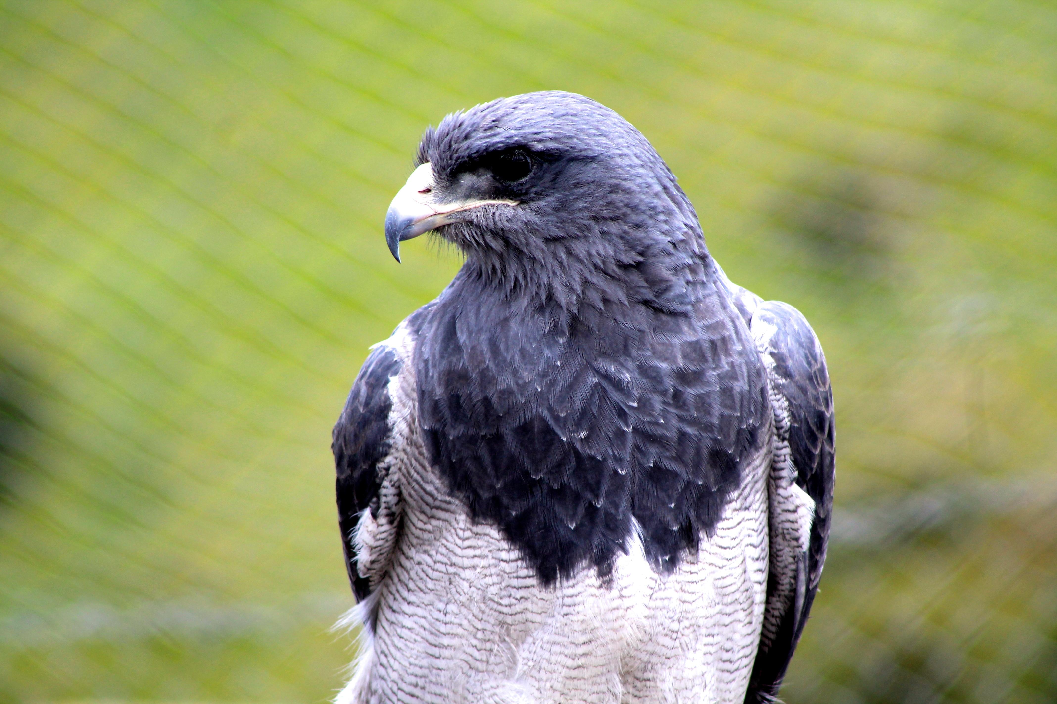 Aguila Gris - 4272x2848
