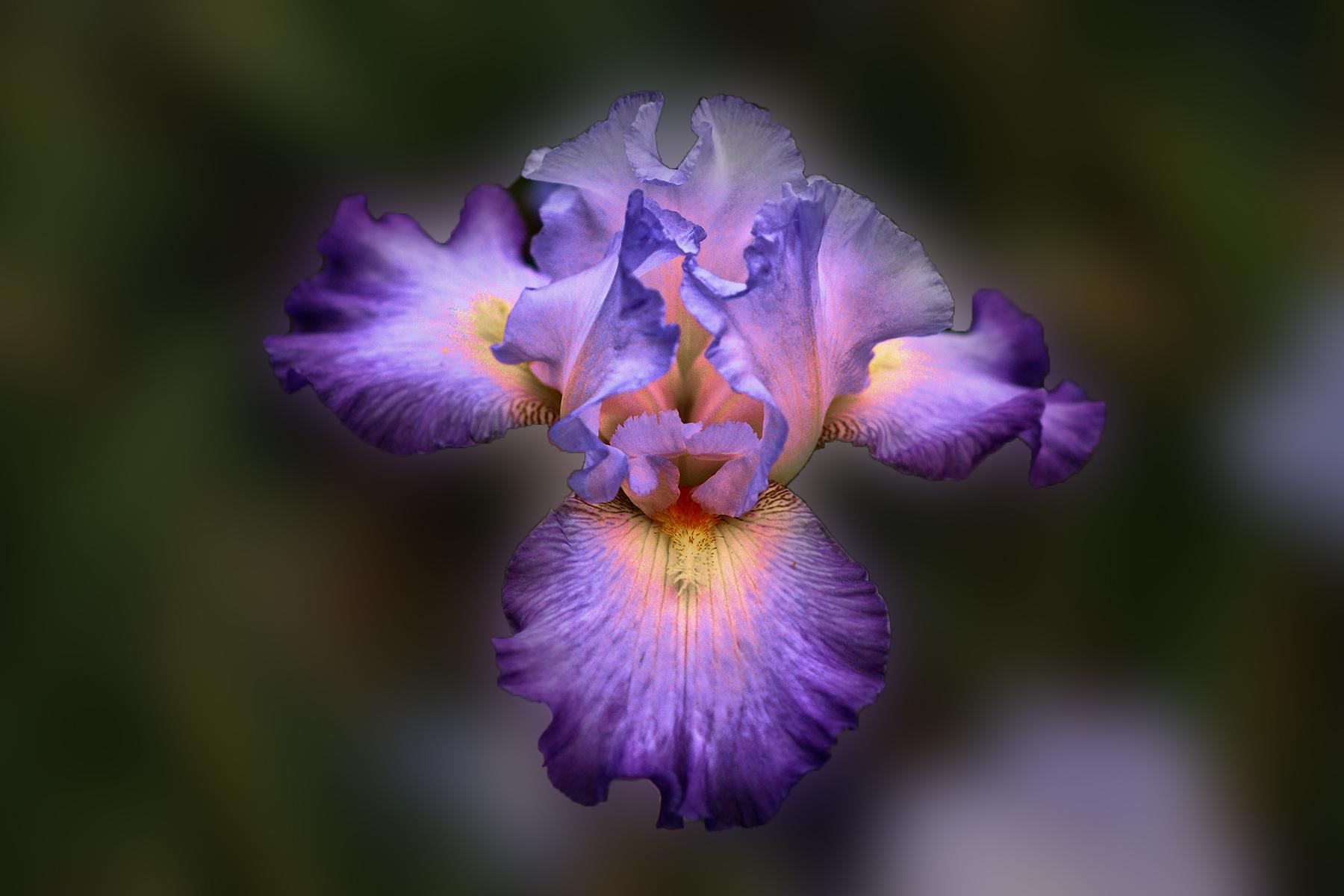 Bella flor purpura - 1800x1200