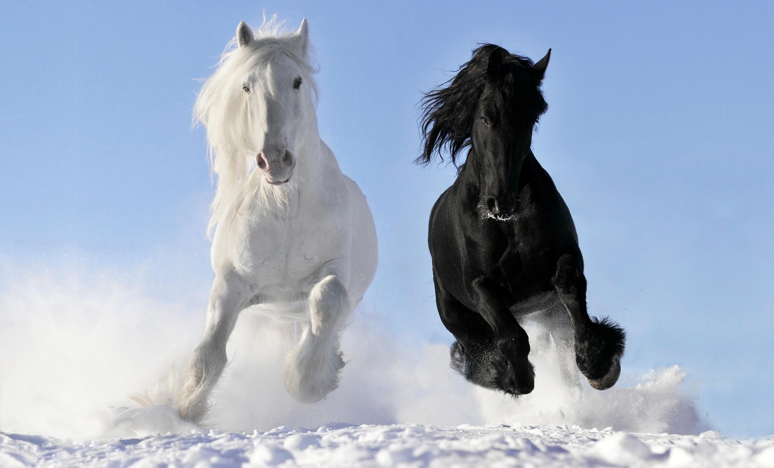 Caballo blanco y negro - 2560x1550